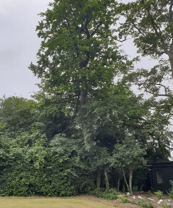 Tree surgery in Hornchurch-Oak tree reduction in Hornchurch Essex