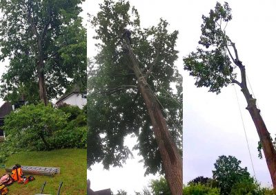 Tree Surgeons in Orpington – Lime tree felling